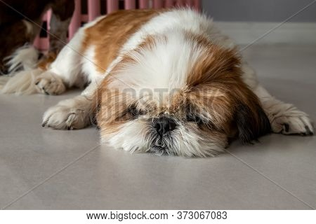 Lazy Dog. Funny Shih Tzu Dog Sleeping And Relaxing On The Floor At Home. Pet Lifestyle And Health Co