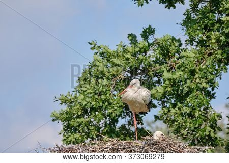 Stork Nest On Green Natural Background. Stork With Baby In Stork Nest. Copy-space