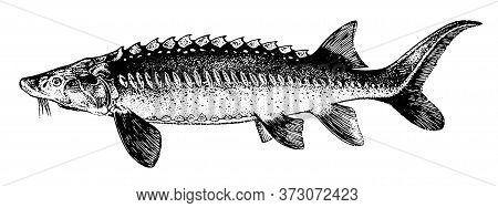 White Sturgeon, Fish Collection. Healthy Lifestyle, Delicious Food. Hand-drawn Images, Black And Whi