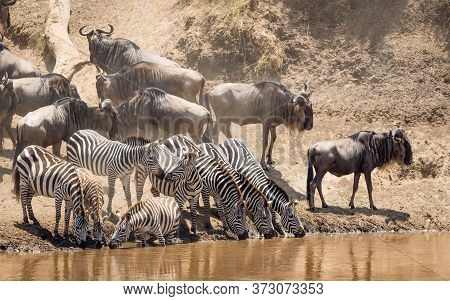 Small Herd Of Zebra Standing At The Edge Of Mara River Drinking Water With Wildebeest Herd Waiting T
