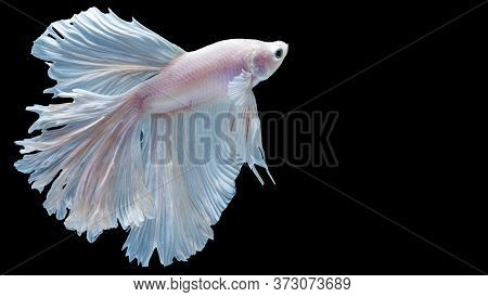 Multicolor White Betta Spendens Fighting Fish (rosetail) Halfmoon Fancy In Thailand On Isolated Blac