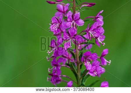 Beautiful Violet Wild Flower In A Field. Picture From Scania,southern Sweden