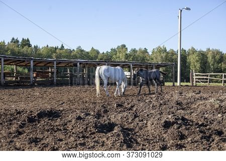 Horses On The Farm. Horses Walk In The Paddock. Horse And Foal. Livestock Farming In The Country. Br