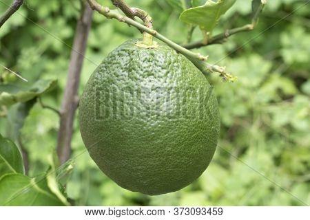 Closeup Giant Lemon, Anthropogen Fruit On Tree