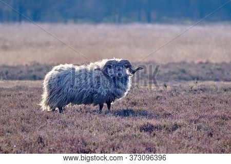 A Drents Heather Sheep In Winter Coat With Long Curved Horns On The Meindersveen Heath. Cold Sunny D