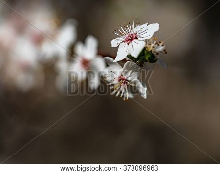 Flower Of Fruit Tree European Plum Prunus Domestica Flowering In Spring.