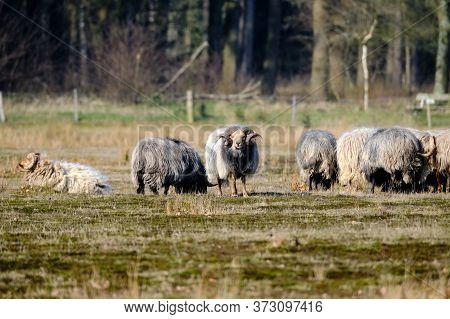 Herd Of Drents Heather Sheep In Winter Coat With Long Curved Horns On The Meindersveen Heath. Cold S