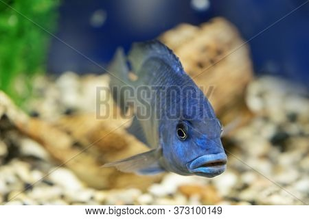 Cichlid Aquarium Fish Underwater. Exotic Blue Colored Fish Close-up. Small African Cyrtocara Moorii