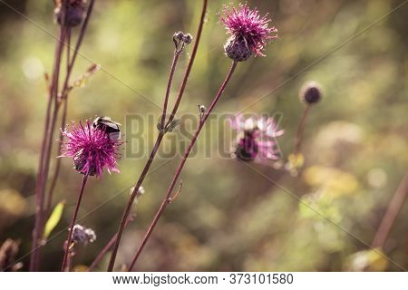 Prickly Weed Is Burdock In Nature. Natural Flowery Background With Forest Flower And Blurry Backdrop