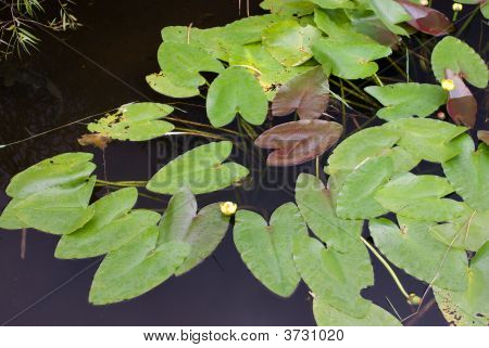 Lily Pads On Canal