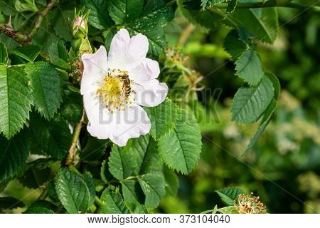 Hover Fly (allograpta Oblique) On A White Flower, Other Common Names For Hover Flies Are Syrphid Fli