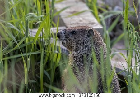 The Groundhog, Also Known As A Woodchuck Is Native American Animal