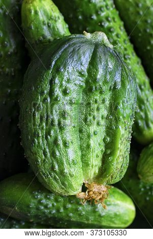 Closeup Ugly Triple Green Organic Cucumber With Dry Yellow Flower, Unusual Shape And Many Vegetables