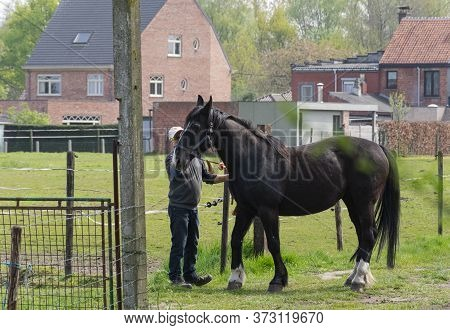 Sint Gillis Waas, Belgium, April 16, 2020 Man With White Cap Strokes His Black Horse On The Side Of
