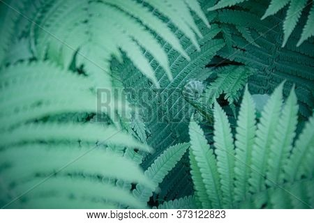 Blur Green Blue Fern Leaves Background Looks Like Alien Jungle. Selective Focus To Unusual Vibrant A