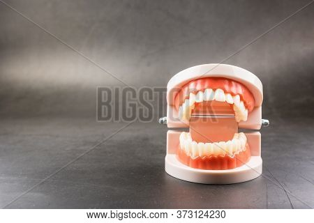 Acrylic Human Jaw Model For Studying Oral Hygiene.concept Of Healthy Teeth.