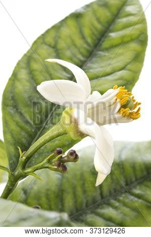 Lemon Tree Blossom, Citrus Flower With Leaves Isolated On White Background