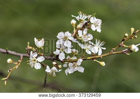 Blooming Cherry Plum Branch With White Flowers, (prunus Cerasifera)