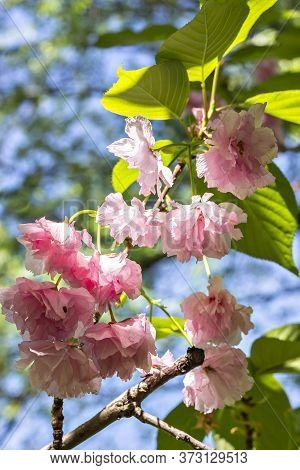 Beautiful Pink Ornamental Flowers Of Cherry Plant Prunus Serrulata Kanzan, Branch Flowers, Japanese