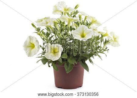 White Blooming Petunia Flowers In Flower Pot, Closeup, Isolated On White Background. Petunia Hybrida