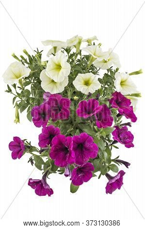 White And Magenta Blooming Petunia Flowers In Flower Pot, Closeup, Isolated On White Background. Pet