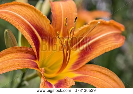 Beautifil Fresh Orange Day Lily, Orange Daylily, Roadside Daylily, Tawny Daylily, Tiger Daylily. Clo