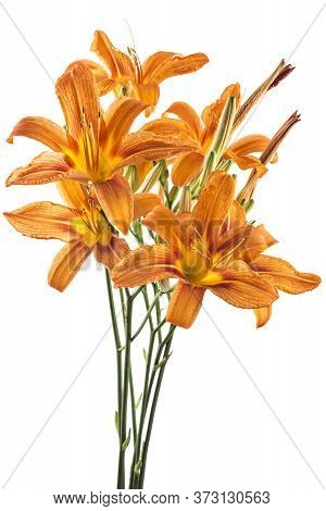 Beautifil Bouquet Of Fresh Orange Day Lily, Orange Daylily, Roadside Daylily, Tawny Daylily, Tiger D