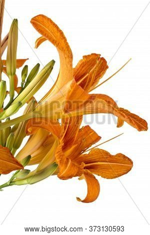 Beautifil Fresh Orange Day Lilies, Orange Daylily, Roadside Daylily, Tawny Daylily, Tiger Daylily. C