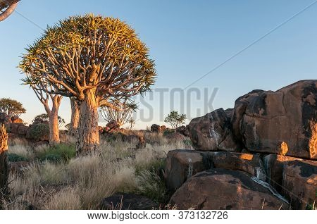 Sunrise At The Quiver Tree Forest Near Keetmanshoop In Southern Namibia. A Rock Hyrax, Procavia Cape
