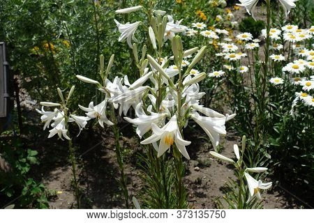 Many Pure White Flowers Of Madonna Lilies In June