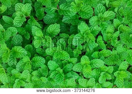 Green Mint Plant In Growth At Vegetable Garden,mint Background