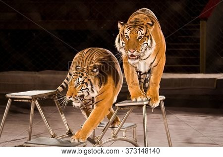 Two Tigers In The Circus Arena On The Pedestals. A Grid Is Stretched Around The Perimeter Of The Are