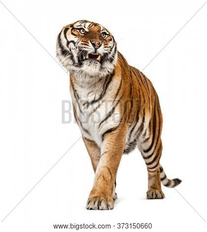 Angry Tiger showing teeth and looking angry