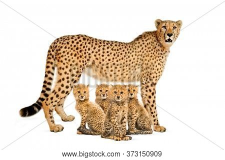 three months old cheetah cub sitting next they mother, isolated