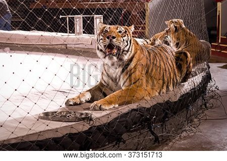 Three Tigers Are Laying On The Sides Of The Circus Arena. The Nearest One With Opened Mouth Is Looki