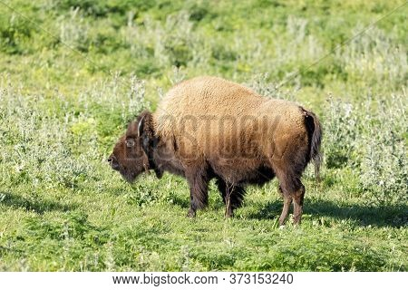 American Bison (buffalo) Adult Grazing. Bison Paddock, Golden Gate Park, San Francisco, California,