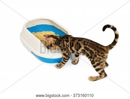 4 Month Old Bengal Kitten Goes To The Toilet In Plastic Litter Box. Cat Using Litter Box With Wood P