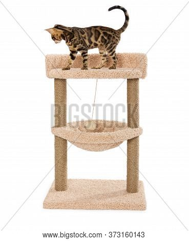 Bengal Kitten On Scratching Play Complex For Cats With Two Poles Isolated On White Background.