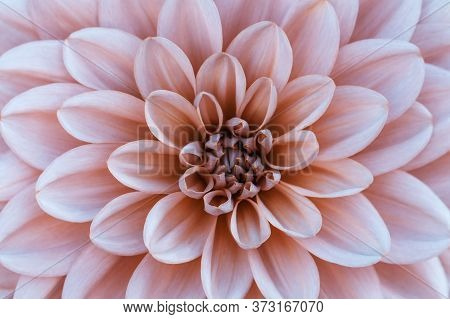 Defocused Pink Dahlia Petals Macro, Floral Abstract Background. Close Up Of Flower Dahlia For Backgr