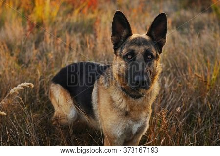 A German Shepherd Dog Walks In The Autumn Park. She Has Sad, Watchful Eyes