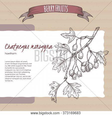 Hawthorn Aka Crataegus Branch Sketch On Cardboard Background. Berry Fruits Series.