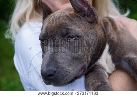 The Blonde Holds In Her Arms A Puppy Of The American Staffordshire Terrier