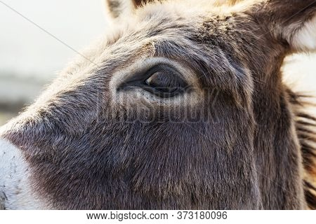Close Up Of Eye Of Donkey In A Meadow, Vision Concept, Macro Of Brown Donkey Eye