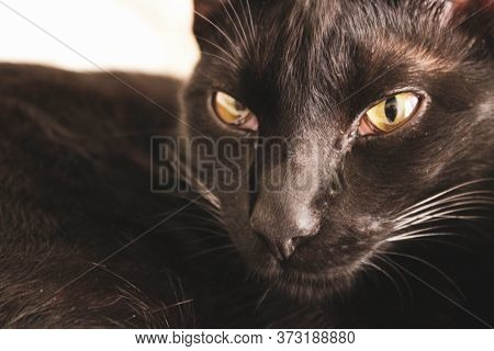 Black Cat Looking Directly To The Camera