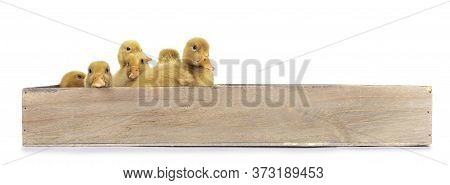 Group Of Ten Day Old Peking Duck Chicks, Standing /  Laying In Wooden Box. Isolated On White Backgro