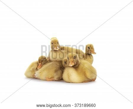 Group Of Ten Day Old Peking Duck Chicks, Laying Down Close Together. Looking Towards Camera. Isolate