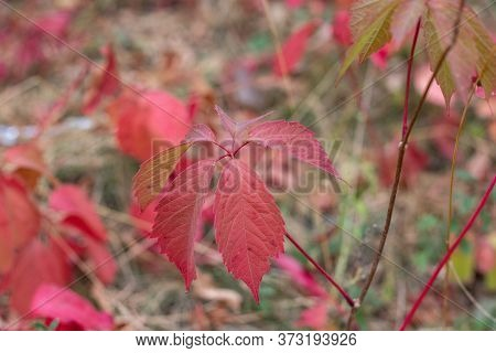 Wild Grapevine With Red Leaves. Autumn Background