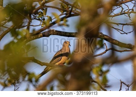 The Mourning Dove. The Bird Is Also Known As The American Mourning Dove Or The Rain Dove, Carolina P