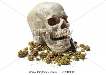 Human Skull With Marijuana. Laughing Halloween Human Skull with Cannabis Sativa Flowers. Isolated on white. Medical and Recreational Marijuana.