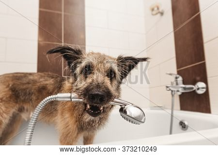 A Funny Shaggy Dog Stands In The Bathtub And Holds A Shower In Its Mouth. Hygiene And Care. Grooming